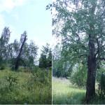 Притрактовые березы Сибирского тракта