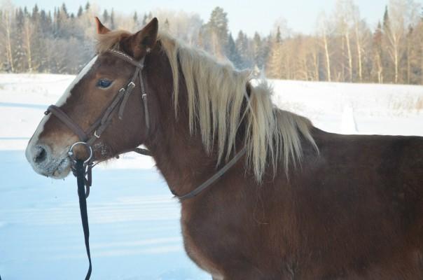Печёра (дочь Пчелки), молодая рыжая кобыла, мягкая, плавная рысь. Только под опытного всадника, т.к иногда играется под седлом.