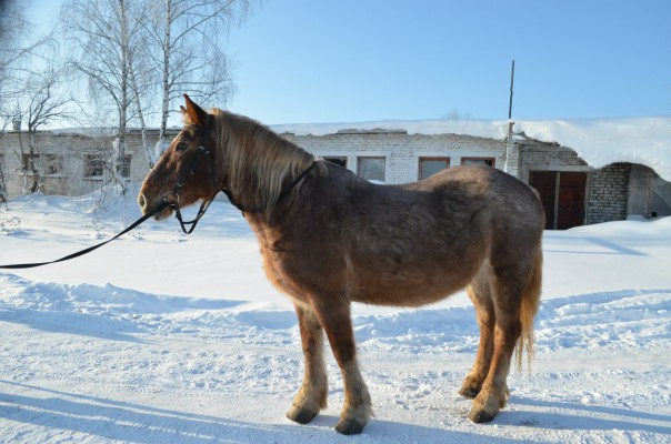 Ямайка. Крупная и спокойная лошадь. В группе ходит обычно шагом, тяжело поднимается в рысь