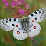 Животные красной книги Удмуртии — насекомые (бабочки, стрекозы, кузнечики, шмели)