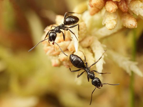 Черный болотный муравей
