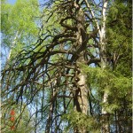 «Чертово дерево» в Игринском районе