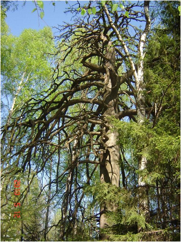 чертово дерево