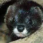 Животные Красной книги Удмуртии — млекопитающие