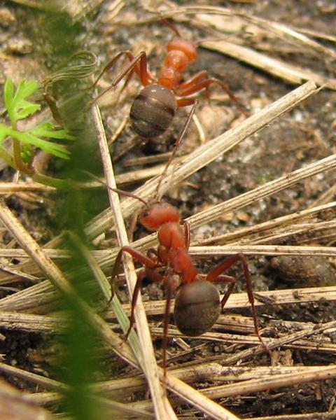 Красноголовый лесной муравей