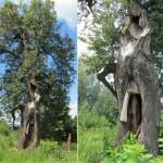 Липа «Седая старушка» — Чистотемское, Увинский район