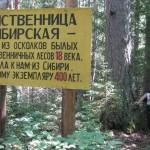 Лиственница в Кокманском лесничестве – свидетельство былых времен