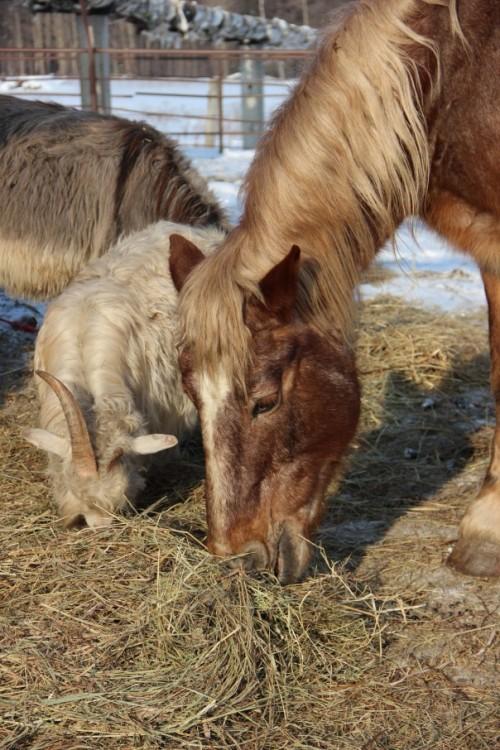 лошади и козочка