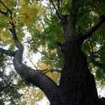 Маньчжурский орех  в Удмуртии