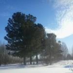 Кедровые сосны Вятской губернии