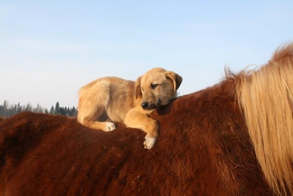 щенок на спине лошади