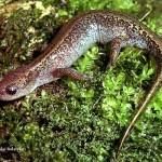 Рептилии и амфибии Красной книги Удмуртии — змеи, лягушки, ящерицы