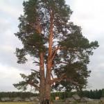 Сосна в Егоровцах, Селтинский район