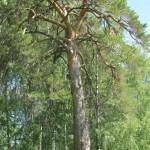 Сосна в окрестностях Якшур-Бодьи