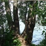Уникальные деревья — памятники природы в Удмуртии