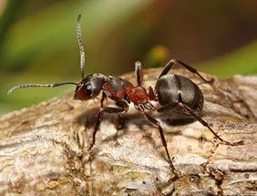 Волосистый лесной муравей