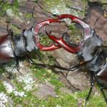 Животные красной книги Удмуртии — насекомые (жуки)